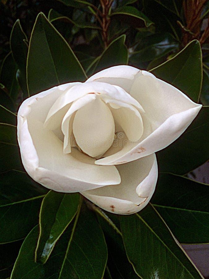 Magnolienfrau stockbild