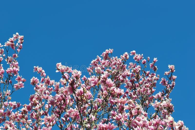 Magnolienknospen und -blumen in der Blüte Detail eines blühenden Magnolienbaums gegen einen klaren blauen Himmel Große, hellrosa  lizenzfreies stockfoto