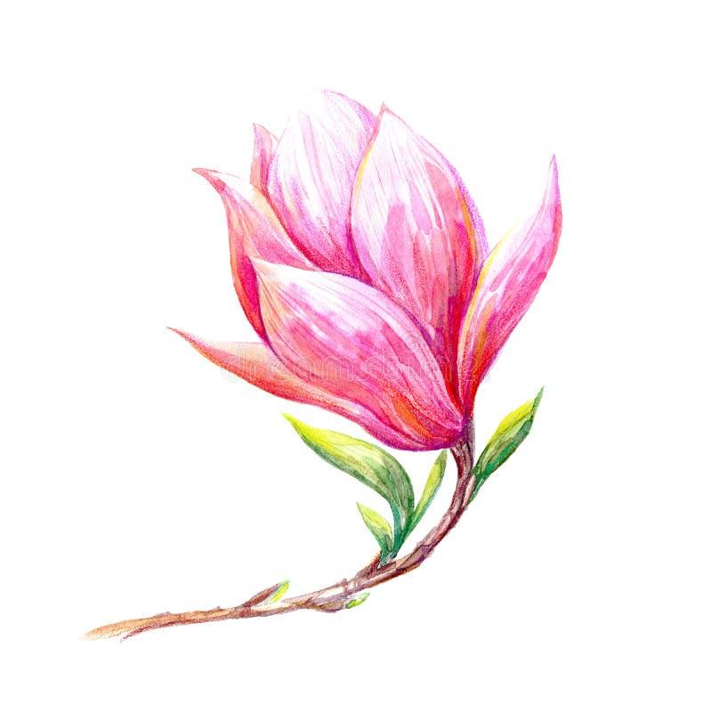 Magnolii gałąź na białym tle Wiosny kwitnienia kwiat ilustracja wektor