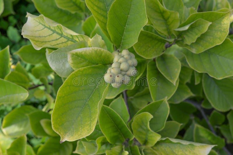 Magnolii ziarna strąki zdjęcie stock