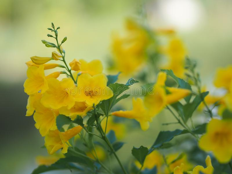 Magnoliophyta, Angiospermae Gold Yellow trumpet flower, ellow elder, Trumpetbush, Tecoma stans blurred of background beautiful in. Selective closeup royalty free stock image
