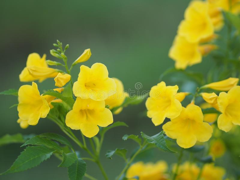 Magnoliophyta, Angiospermae Gold Yellow trumpet flower, ellow elder, Trumpetbush, Tecoma stans blurred of background beautiful in. Selective closeup stock images