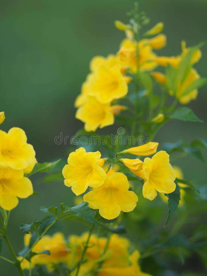 Magnoliophyta, Angiospermae Gold Yellow trumpet flower, ellow elder, Trumpetbush, Tecoma stans blurred of background beautiful in. Selective closeup royalty free stock photos
