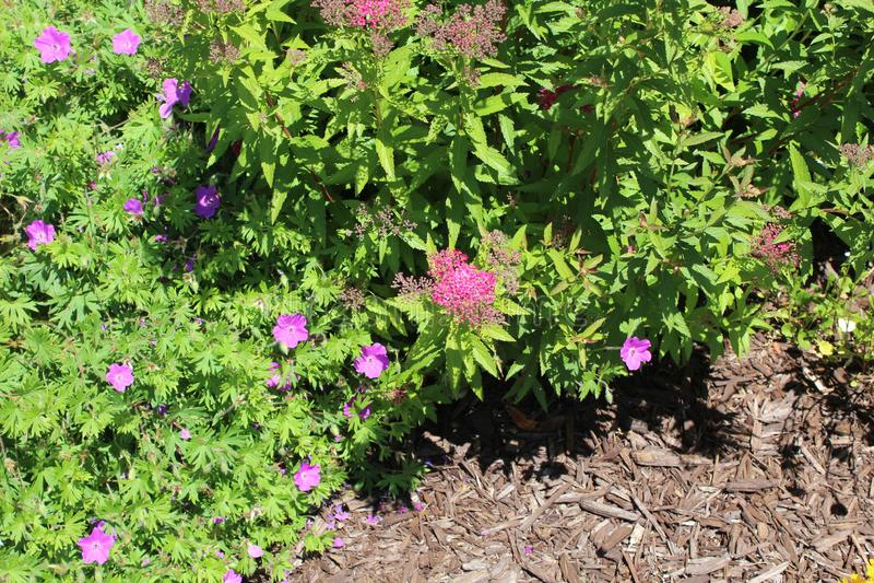 Magnoliophytabusch mit mluch lizenzfreie stockfotografie