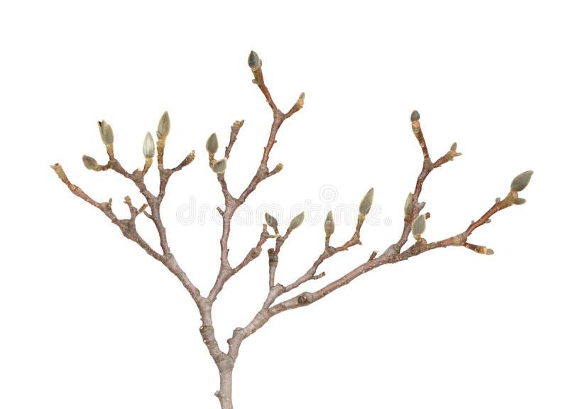 Magnoliowa gałąź zdjęcie royalty free