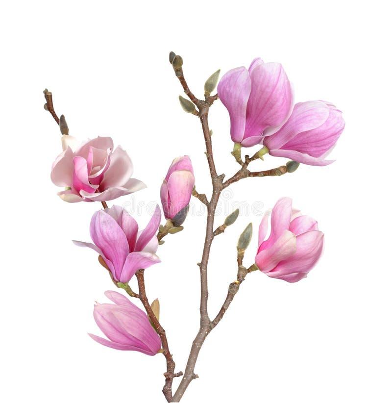 Magnoliowa gałąź zdjęcia stock