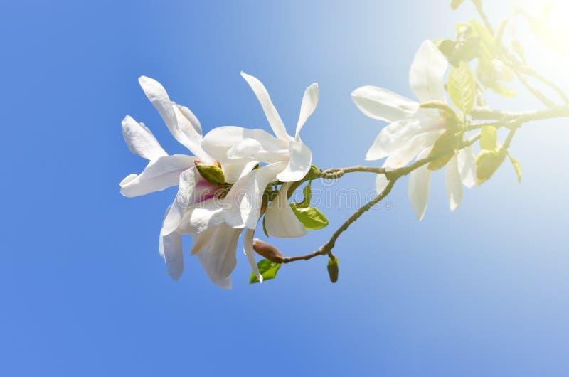 Magnoliowa kobus kwiatu roślina zdjęcia royalty free