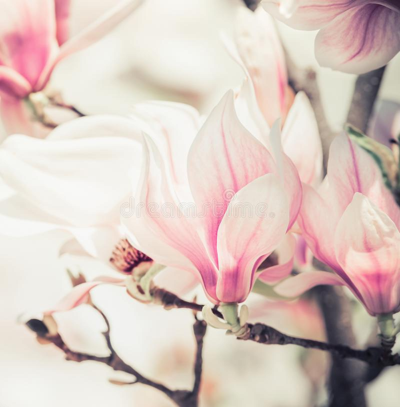 Magnoliowi kwiaty, skaczą plenerowa natura zdjęcia royalty free