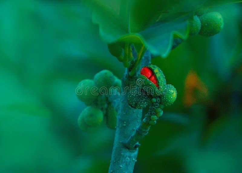 Magnoliowy Champaca Sampige kwiatu pączek w Zielonym tle fotografia royalty free