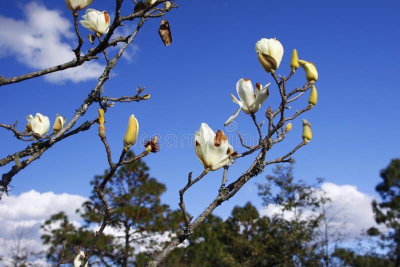 Magnoliowy denudateï ¼ Œ flowerï magnoliowy ¼ Œ w pełnym kwiacie z niebieskiego nieba tłem zdjęcia stock