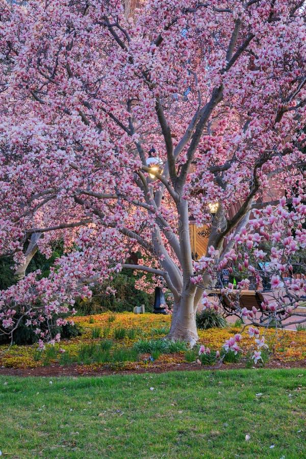 Magnoliowy Drzewny kwiatu washington dc fotografia royalty free