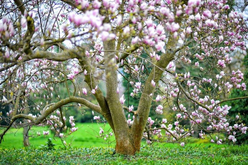 Magnoliowy drzewo obraz royalty free