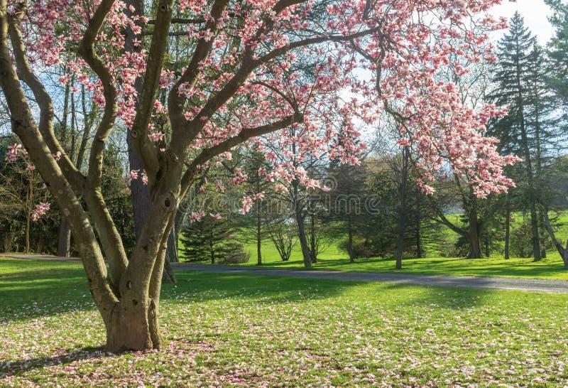 Magnoliowy drzewo kwitnie w parku fotografia stock