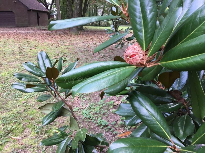 Magnoliowy drzewo pączkuje pękać w ziarna w spadku w Anne Arundel okręgu administracyjnym w Maryland obrazy royalty free