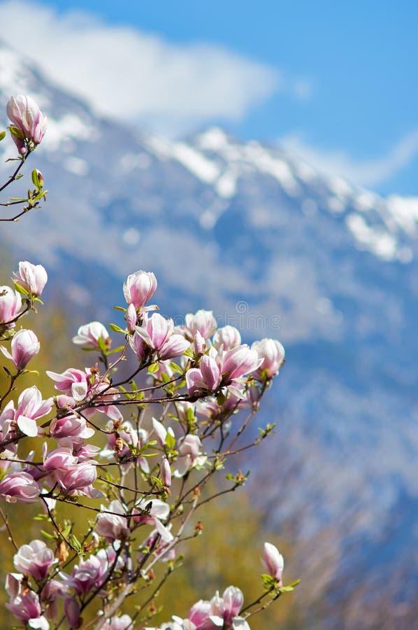 Magnoliowy drzewo z kwiatami niebieska tła Ja ` s wiosna obraz royalty free