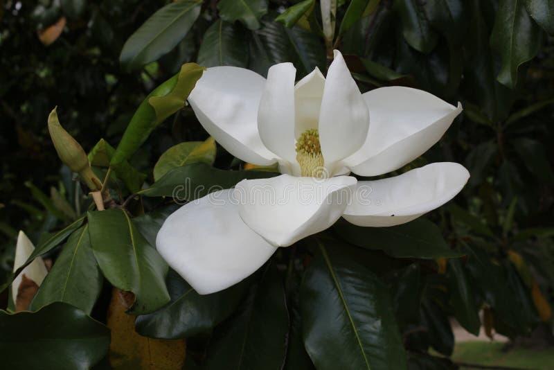 Magnoliowy kwiat obrazy royalty free
