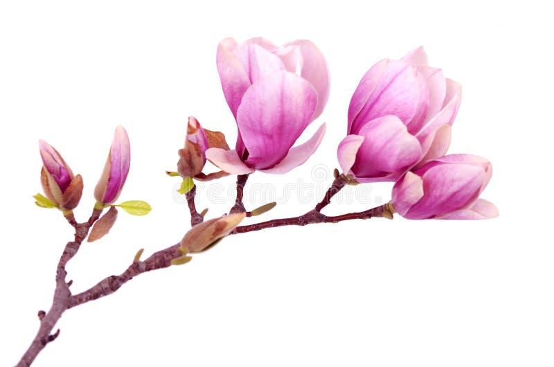 Magnoliowy kwiat obraz stock