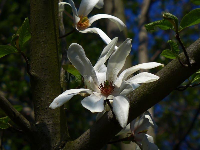 Magnoliowy kwiat - biel fotografia royalty free