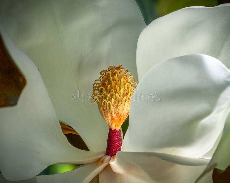 Magnoliowy okwitnięcia zbliżenie owocolistki i stamens fotografia royalty free