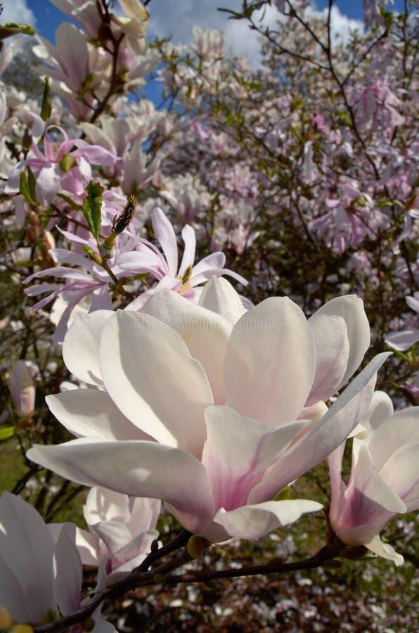 Download Magnoliowy soulangeana x zdjęcie stock. Obraz złożonej z flory - 53779912