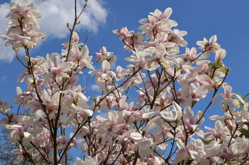 Download Magnoliowy soulangeana x zdjęcie stock. Obraz złożonej z polska - 53779968