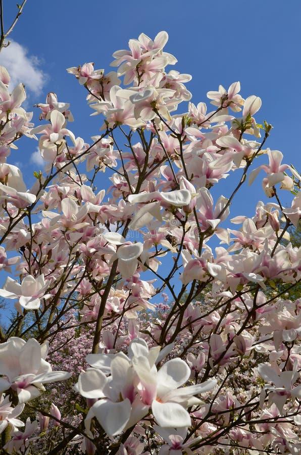 Download Magnoliowy soulangeana x obraz stock. Obraz złożonej z okwitnięcie - 53779979
