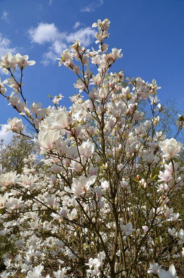 Download Magnoliowy soulangeana x zdjęcie stock. Obraz złożonej z ogród - 53780004