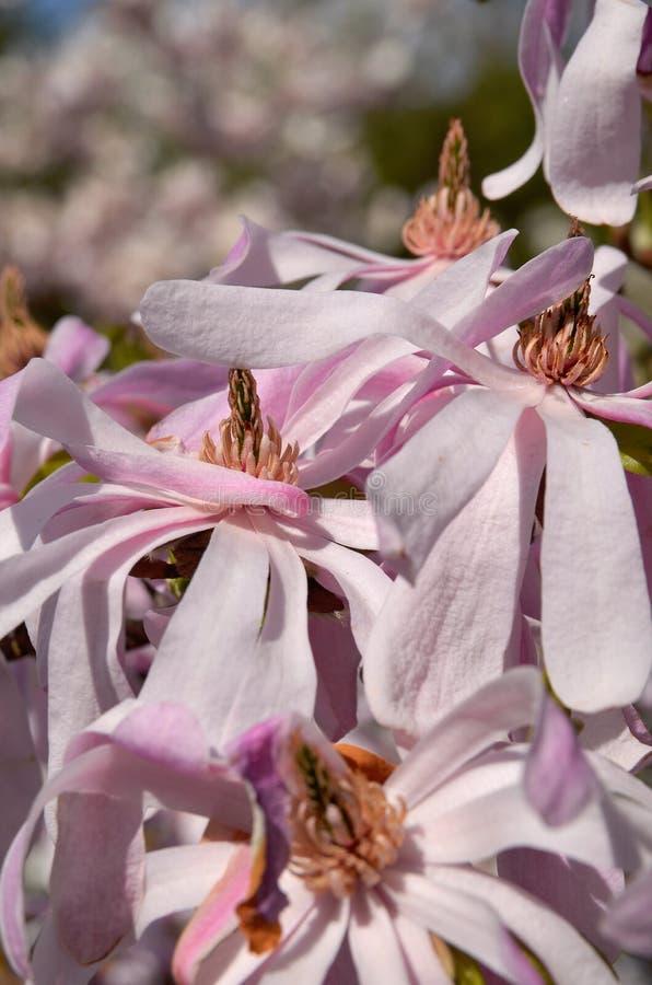Download Magnoliowy stellata obraz stock. Obraz złożonej z menchie - 53778287