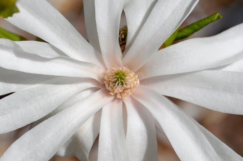 Download Magnoliowy stellata obraz stock. Obraz złożonej z 1, okwitnięcie - 53778305