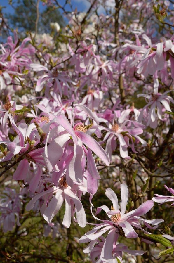 Download Magnoliowy stellata obraz stock. Obraz złożonej z okwitnięcie - 53778399