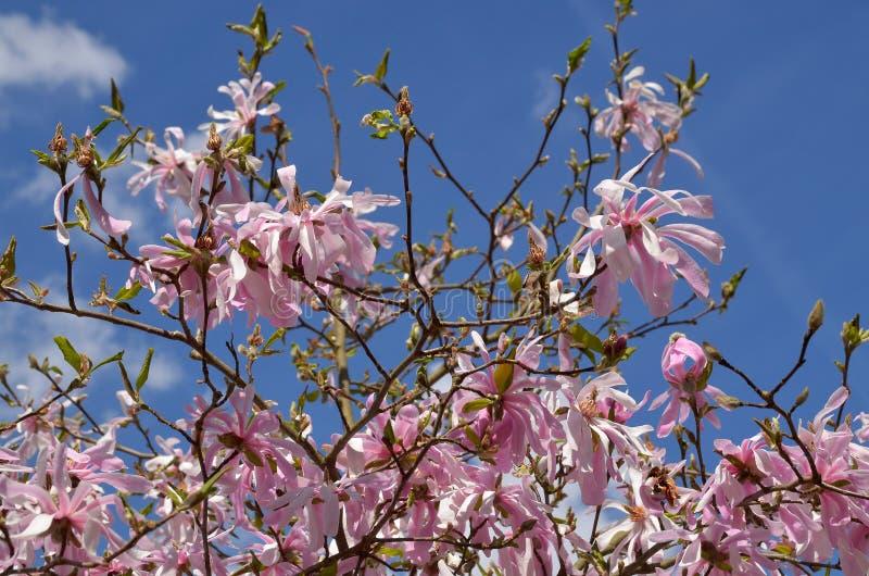 Download Magnoliowy stellata obraz stock. Obraz złożonej z roślina - 53778405