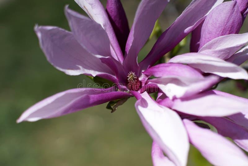 Magnoliowy Stellata ` Jane Platt `, powszechnie znać jako Gwiazdowa magnolia fotografia royalty free