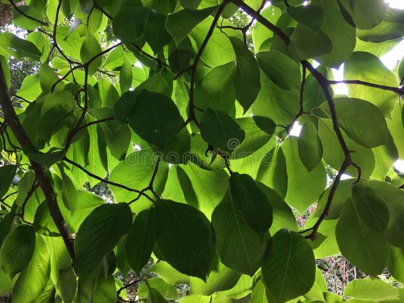 """Magnoliowy x veitchii """"Peter Veitch† zdjęcie stock"""