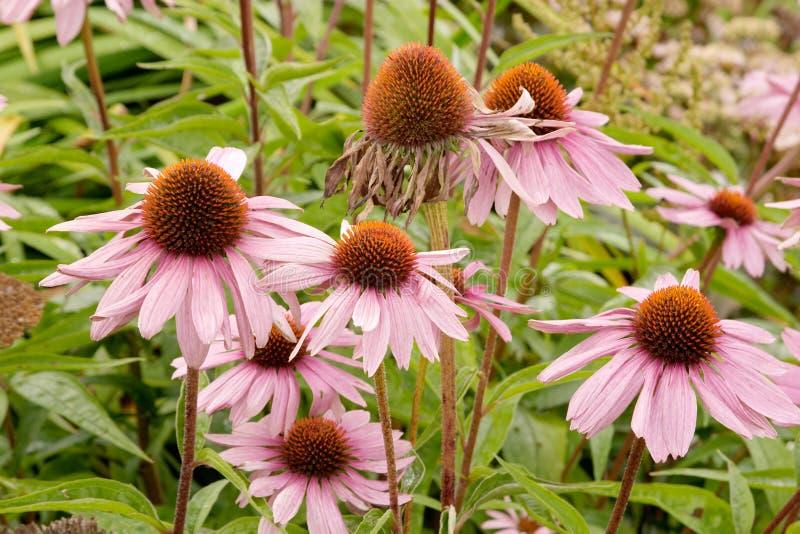 Magnus echinacea purpurea zdjęcia royalty free