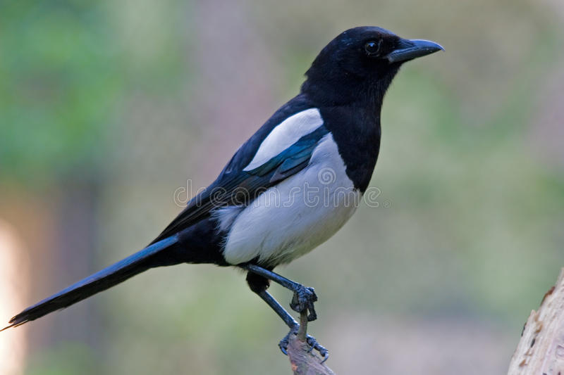 Magpie. The European Magpie or Common Magpie (Pica pica) is a resident breeding bird throughout Europe,North America, much of Asia, and northwest Africa stock photography