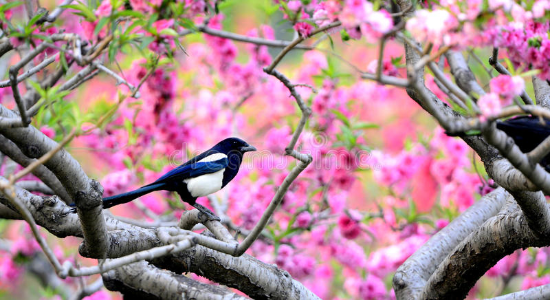 Download Magpie on branch stock image. Image of festive, patterns - 30877433