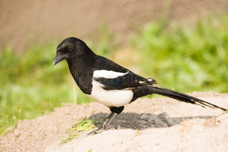 Magpie comum ou Magpie europeu imagem de stock royalty free