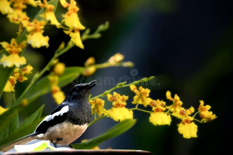 Magpie and the dancing girl flowers royalty free stock images
