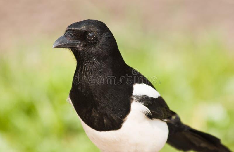 Magpie europeu ou Magpie comum fotografia de stock royalty free