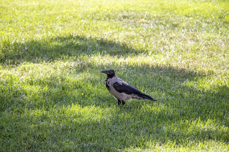 Magpie. Walks around the lawn looking around royalty free stock photos