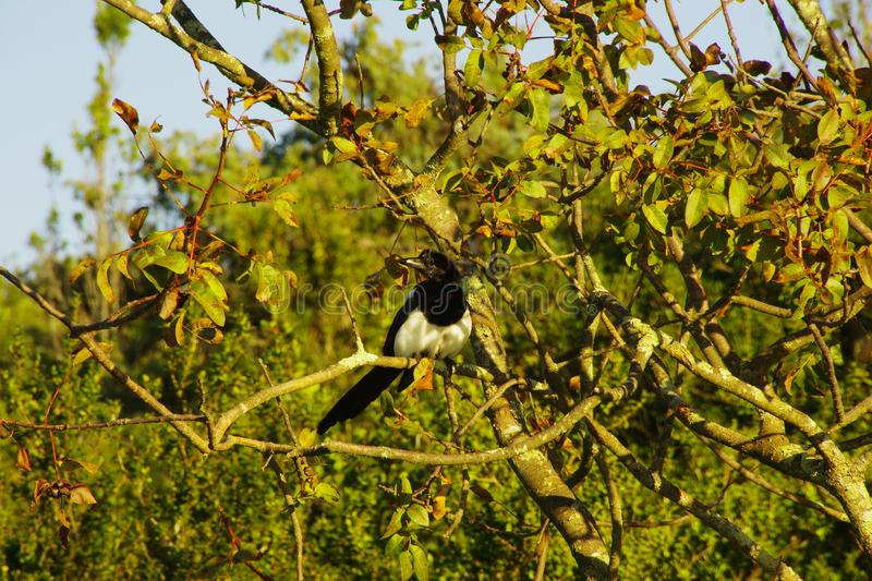 A magpie perched in a tree. Black and white bird with a black beak. The tree begins to lose its leaves, it is autumn royalty free stock photo