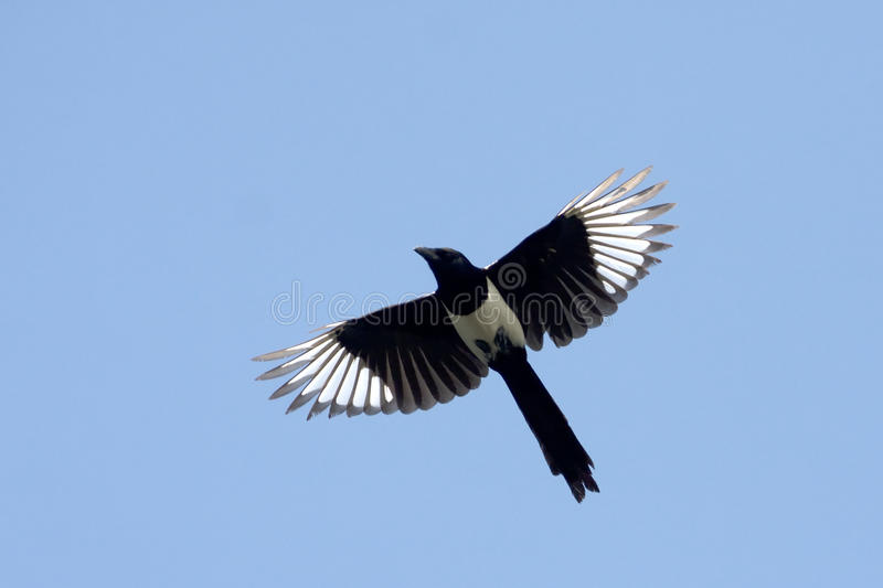 Magpie ( Pica Pica) Royalty Free Stock Photo