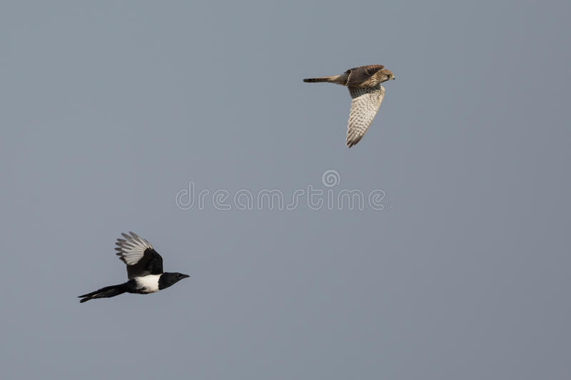 Magpie (Pica pica) chases Common Kestrel (Falco tinnunculus) in flight royalty free stock photo
