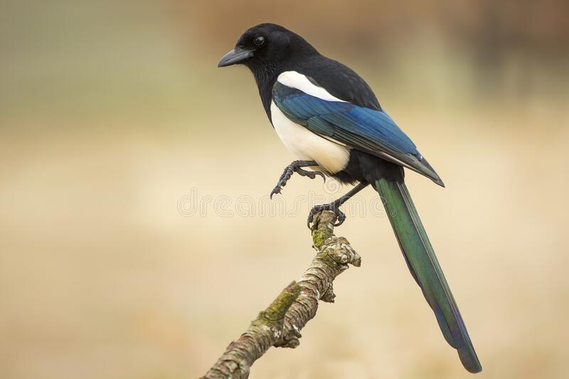 205 Magpies Branch Photos - Free & Royalty-Free Stock Photos from ...