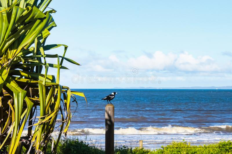Magpie on a post overlooking the ocean with tall tropical plants stock images