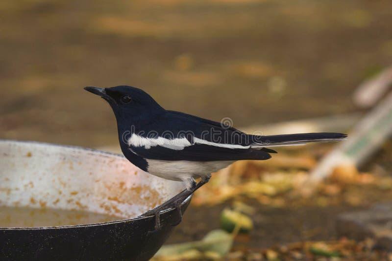 Magpie Robin, Copsychus saularis, Tipeshwar Wildlife Sanctuary, Maharashtra stock image