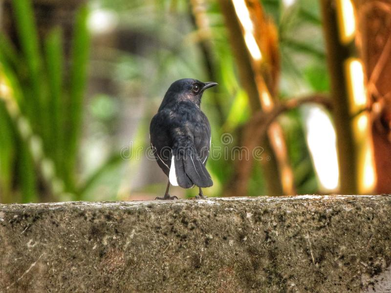 Magpie Robin royalty free stock photography
