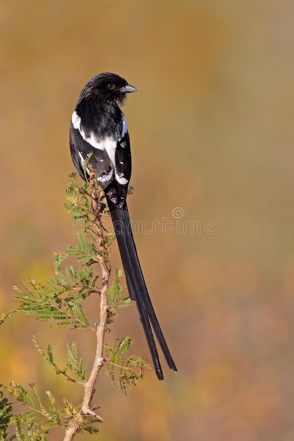 Download Magpie shrike stock photo. Image of animal, bird, claws - 31182856