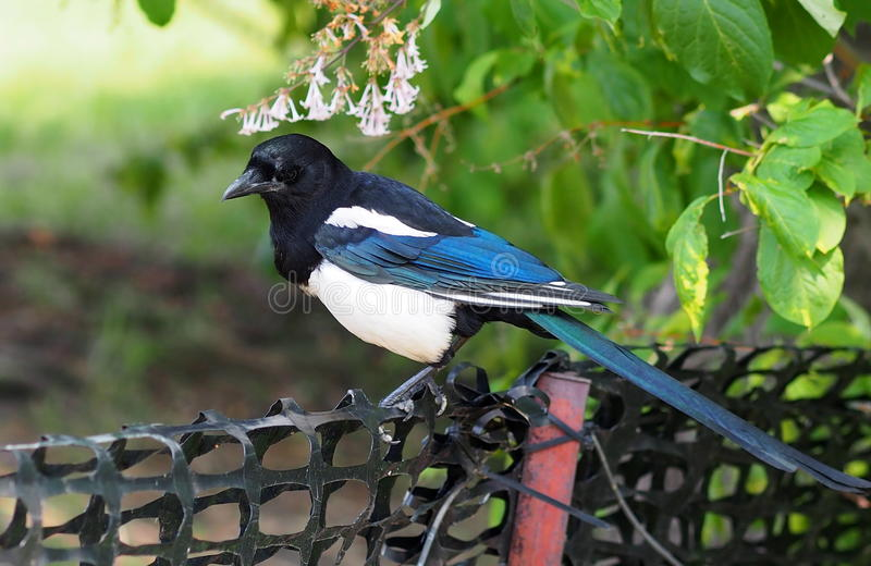Magpie. Sitting on a plastic barrier fence royalty free stock images