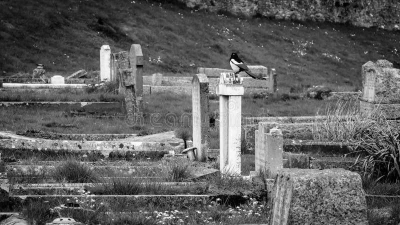 Magpie som sitter på en graveston arkivbild